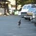 A turkey enjoying a stroll