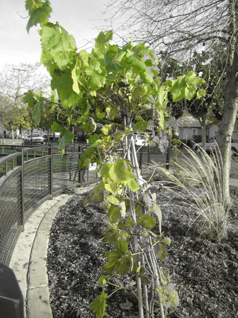 Grapes planted perhaps to honor DeTurk