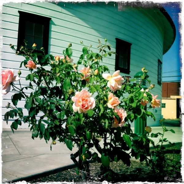 DeTurk Roses
