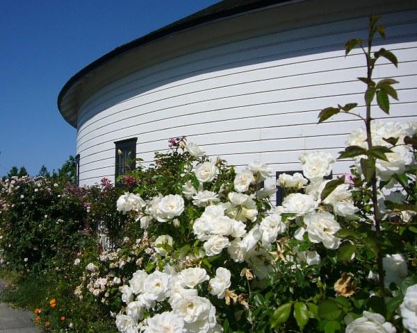 Vintage Rose Garden in full bloom