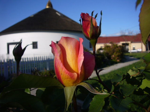 Talisman rose in front of the barn