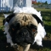 Pug in sheep\'s clothing
