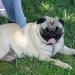 Pug Sunday May 09 by Lisa Howard