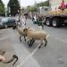 Downtown Sheep Drive