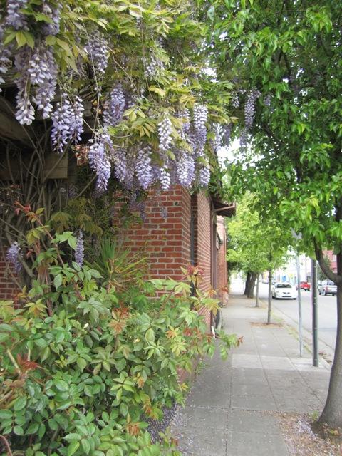 arlene-wisteria