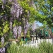 demeo-wisteria