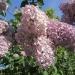 hewitt-lilacs