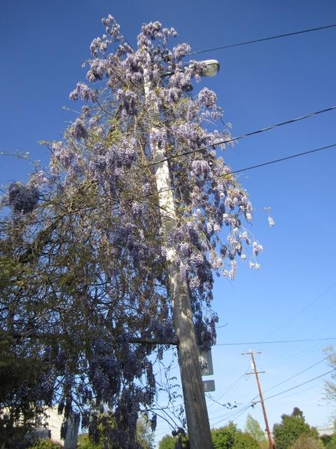 w-6th-wisteria