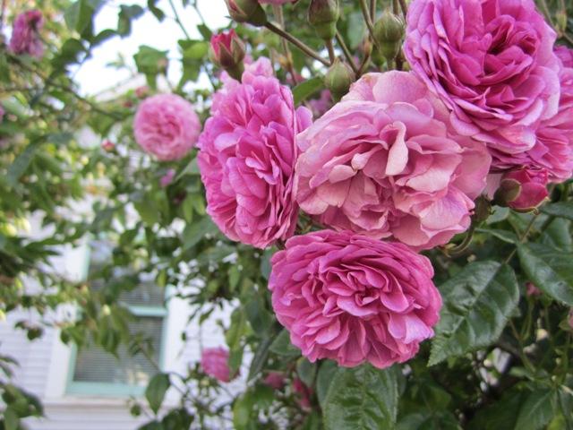 w-8th-roses