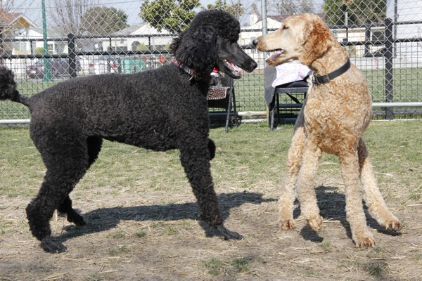 Poodle Party Sunday