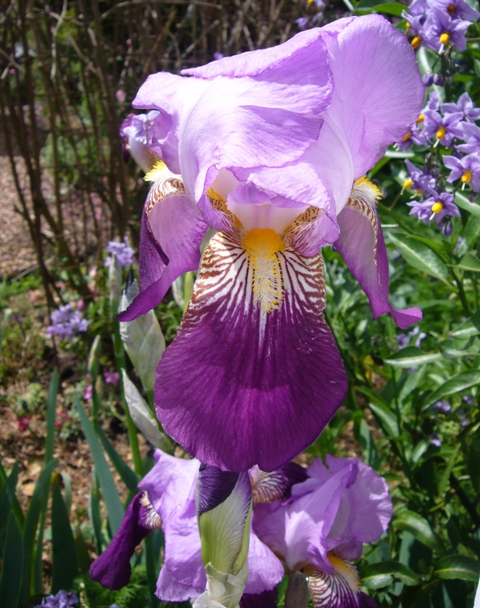 Iris in bloom