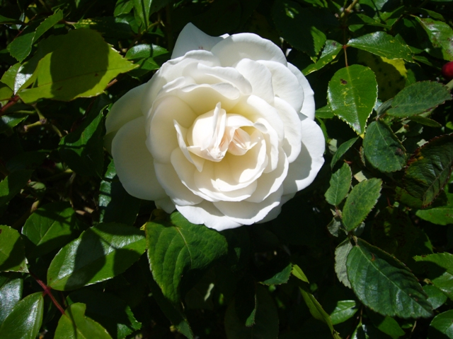 Another rose in the Vintage rose garden