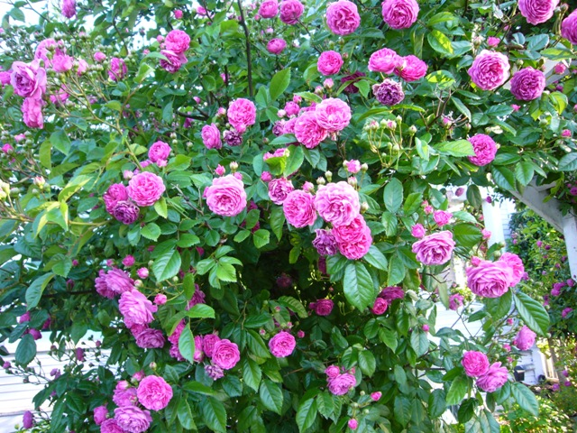 Riotous color in a climbing rose