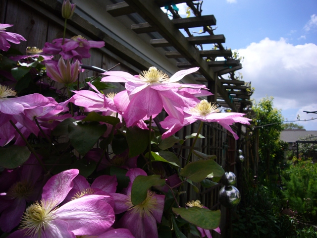 Clematis on a fence
