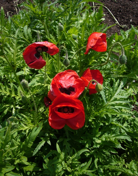Red poppies aglow