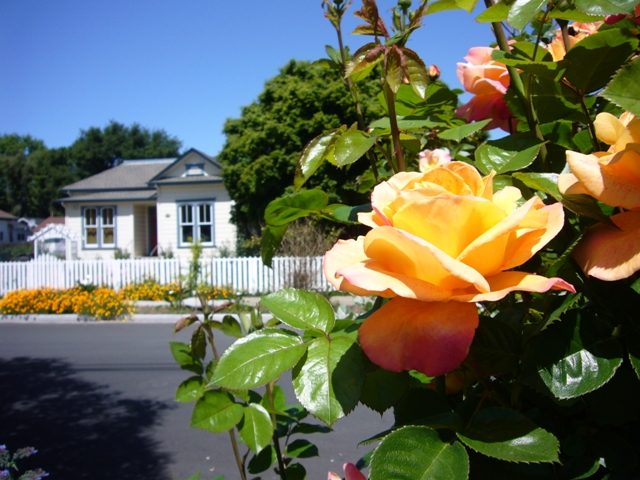 A rose on W. 8th Street