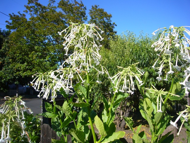 A flowering tobacco