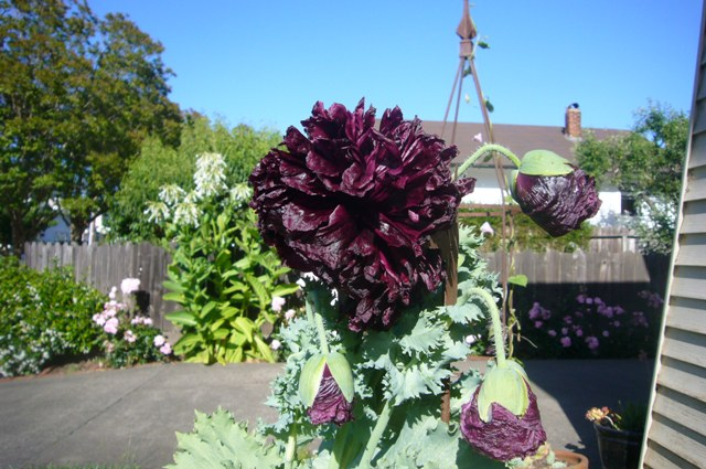 A poppy named Black Peony