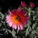 An African Daisy