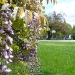 The Wisteria lining DeMeo Park