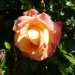 A rose in a parking strip blazes with color