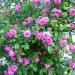 Riotous color in a climbing rose