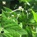 Rachel & Carissa\'s Organic garden- bush bean