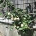 Rachel & Carissa\'s Organic garden- espaliered apple