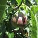 Rachel & Carissa\'s Organic garden- fig