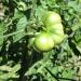 Rachel & Carissa\'s Organic garden- heirloom tomato