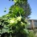 Rachel & Carissa\'s Organic garden- hops