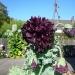 A poppy named Black Peony