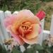 Robin\'s Rose