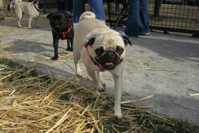 February Pug Play Day
