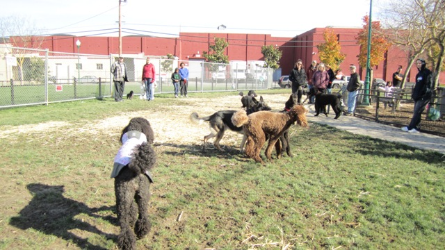 January's West End Poodle Party