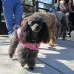 West End Poodle Party February 2011