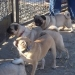 January Pugs at Play