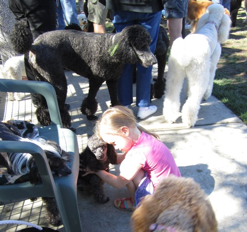 The little black poodle is getting loved up