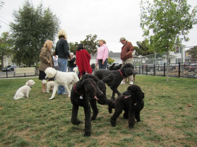 Sept W. E. Poodle Party- a swirling pile of Poodles