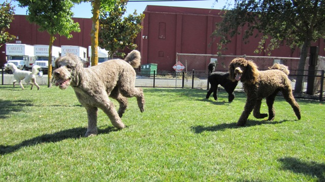 Running Poodles