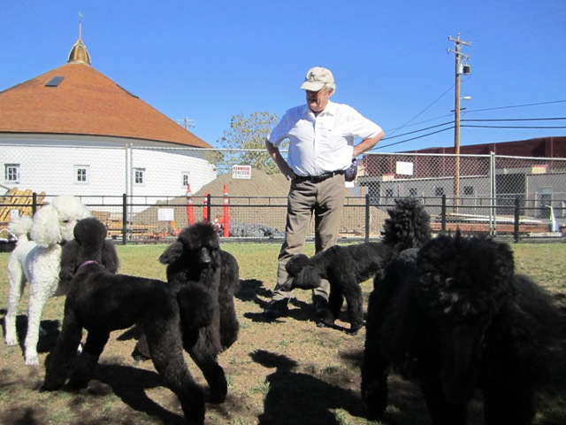 That's alot of black poodles