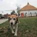A bashful Beagle