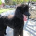 Puppy\'s first Poodle party