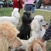 Sept W. E. Poodle Party- many colors