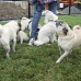 Pookie surrounded on Pug Play Day