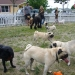 Pug Sunday at De Turk Round Barn Dog Park