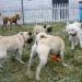 Pug Sunday at De Turk Round Barn Dog Park