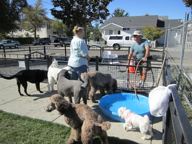 Guy waters the poodles and other dogs