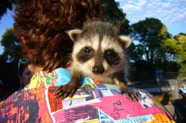 A fostered racoon