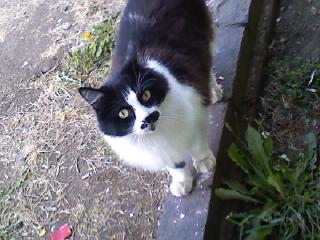 Missing Black & White Cat- Lincoln St Area